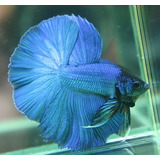 Peixe-Betta-Splendens-Macho_-Betta-Splendens_